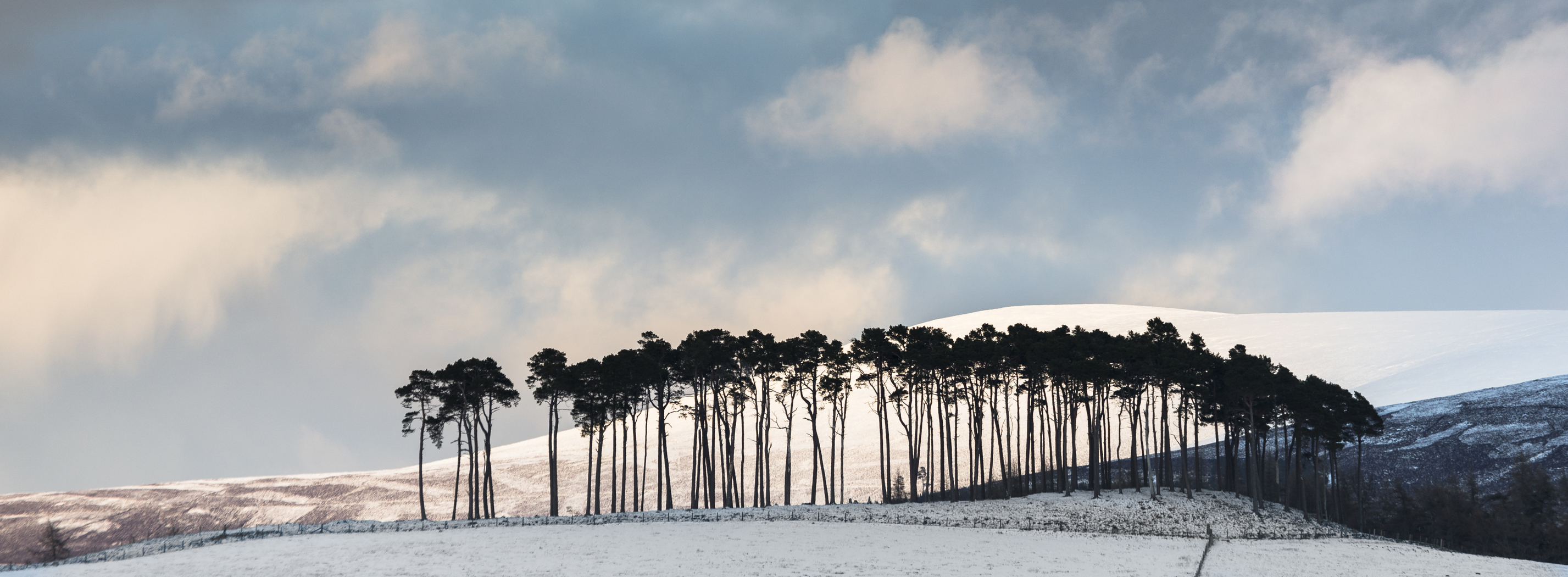 Pines on the Braes of Abernethy in the Cairngorms National Park of Scotland.